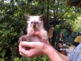 Кошки, котята Балинез, цена 250 Грн., Фото