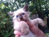 Кішки, кошенята Балінез, ціна 250 Грн., Фото
