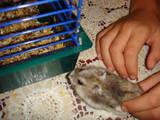 Гризуни Хом'яки, ціна 25 Грн., Фото