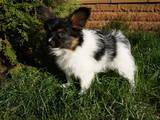Собаки, щенята Папільон, ціна 18000 Грн., Фото