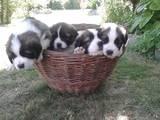 Собаки, щенята Московська сторожова, ціна 3000 Грн., Фото