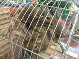 Грызуны Дегу, цена 100 Грн., Фото