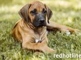 Собаки, щенята Родезійського ріджбек, ціна 1000 Грн., Фото