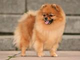 Собаки, щенки Померанский шпиц, цена 2000 Грн., Фото