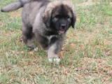 Собаки, щенки Кавказская овчарка, цена 18000 Грн., Фото