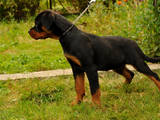 Собаки, щенки Ротвейлер, цена 9000 Грн., Фото