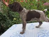 Собаки, щенята Німецька гладкошерста лягава, ціна 3000 Грн., Фото