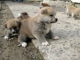 Собаки, щенки Акита-ину, цена 17500 Грн., Фото