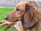 Собаки, щенки Длинношерстная такса, цена 2700 Грн., Фото