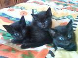 Кішки, кошенята Мейн-кун, ціна 10 Грн., Фото