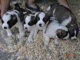 Собаки, щенята Московська сторожова, ціна 1200 Грн., Фото