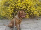 Собаки, щенята Бордоський дог, ціна 10 Грн., Фото
