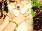 Собаки, щенята Довгошерстий коллі, ціна 6000 Грн., Фото