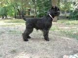 Собаки, щенки Цвергшнауцер, цена 6000 Грн., Фото