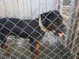 Собаки, щенята Ротвейлер, ціна 600 Грн., Фото