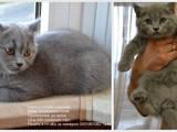 Кошки, котята Шотландская короткошерстная, цена 550 Грн., Фото