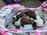 Собаки, щенки Немецкая гладкошерстная легавая, цена 800 Грн., Фото
