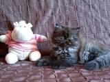 Кошки, котята Персидская, цена 700 Грн., Фото
