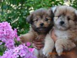 Собаки, щенки Карликовый шпиц, цена 1500 Грн., Фото