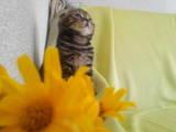 Кішки, кошенята Шотландська висловуха, ціна 1300 Грн., Фото
