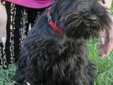 Собаки, щенки Цвергшнауцер, цена 5000 Грн., Фото