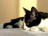 Кішки, кошенята Східна короткошерста, Фото