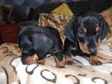 Собаки, щенки Гладкошерстная такса, цена 650 Грн., Фото