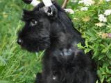 Собаки, щенята Різеншнауцер, ціна 8500 Грн., Фото