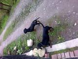 Собаки, щенята Гладкошерста такса, ціна 100 Грн., Фото