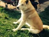 Собаки, щенки Американский акита, цена 3500 Грн., Фото
