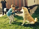 Собаки, щенята Американський акіта, ціна 3500 Грн., Фото