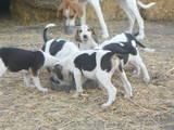 Собаки, щенята Баварський гончак, ціна 500 Грн., Фото