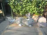Грызуны Кролики, цена 150 Грн., Фото