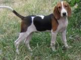 Собаки, щенята Баварський гончак, ціна 3200 Грн., Фото
