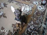Собаки, щенята Російський гладкошерстий тойтерьер, ціна 1100 Грн., Фото