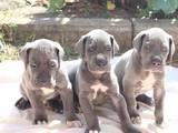 Собаки, щенята Німецький дог, ціна 8000 Грн., Фото