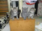 Кішки, кошенята Британська довгошерста, ціна 200 Грн., Фото