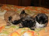 Собаки, щенки Пекинес, цена 1200 Грн., Фото