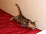 Кішки, кошенята Бенгальськая, ціна 3500 Грн., Фото
