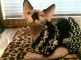 Кішки, кошенята Канадський сфінкс, ціна 500 Грн., Фото