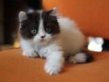 Кошки, котята Хайленд Фолд, цена 2000 Грн., Фото