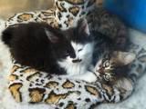 Кошки, котята Курильский бобтейл, цена 500 Грн., Фото