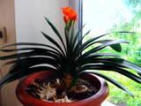 Домашні рослини Середні рослини, ціна 50 Грн., Фото