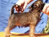 Собаки, щенята Бельгійський гріффон, ціна 7000 Грн., Фото