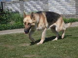 Собаки, щенки Восточно-Европейская овчарка, цена 500 Грн., Фото