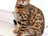 Кошки, котята Бенгальская, цена 5000 Грн., Фото