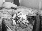 Собаки, щенята Далматин, ціна 50 Грн., Фото
