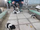 Собаки, щенки Русский спаниель, цена 900 Грн., Фото
