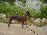 Собаки, щенки Китайская хохлатая собака, цена 2000 Грн., Фото