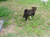 Собаки, щенята Американський акіта, ціна 9500 Грн., Фото